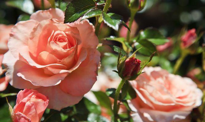 Cuidado de los rosales hogarmania - Hogarutil plantas ...