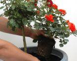 Composición floral en maceta con rosales
