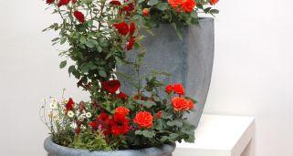 Cuidado de los rosales hogarmania - Rosales en macetas ...