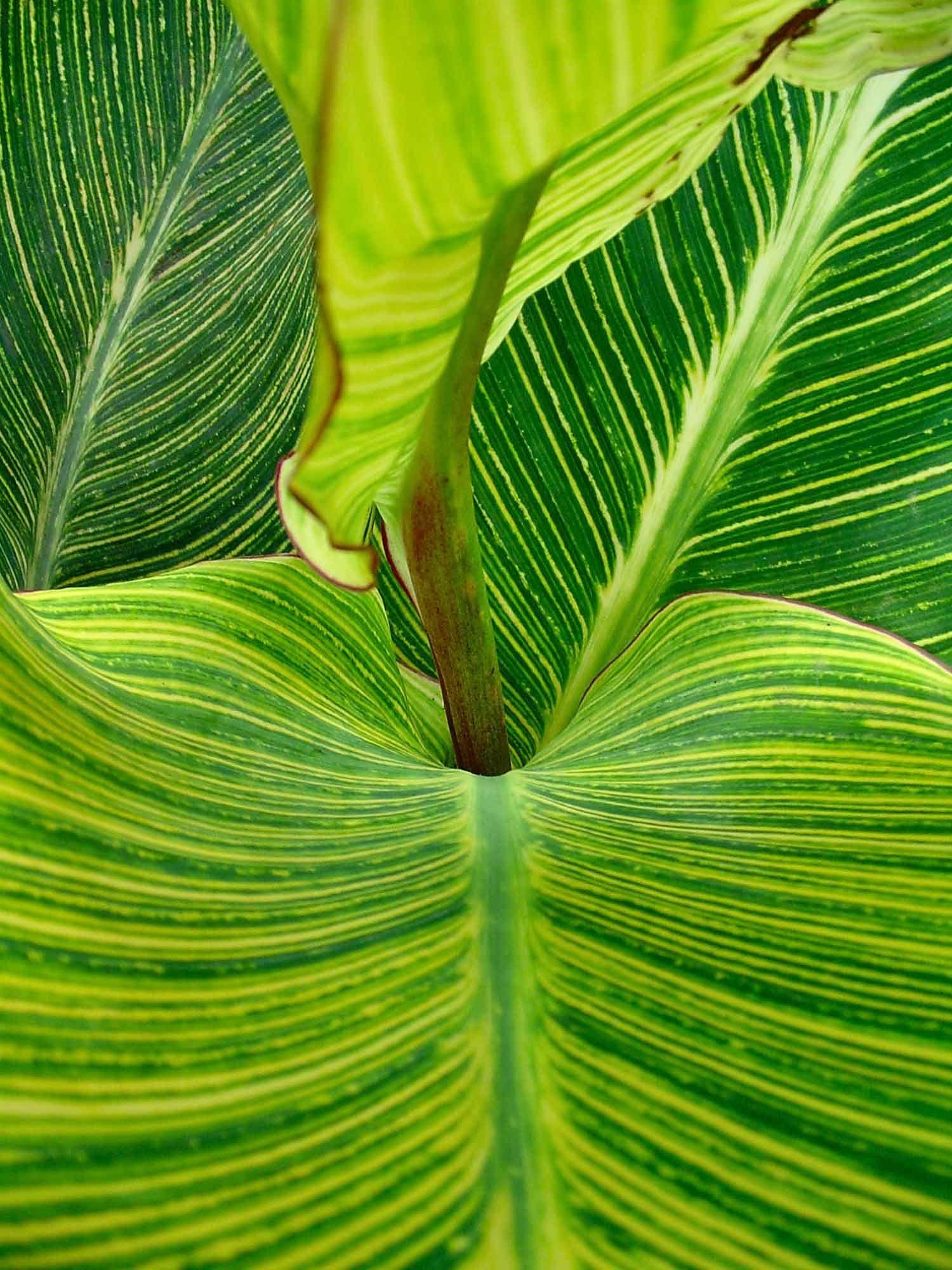 cannas indicas hojas verdes