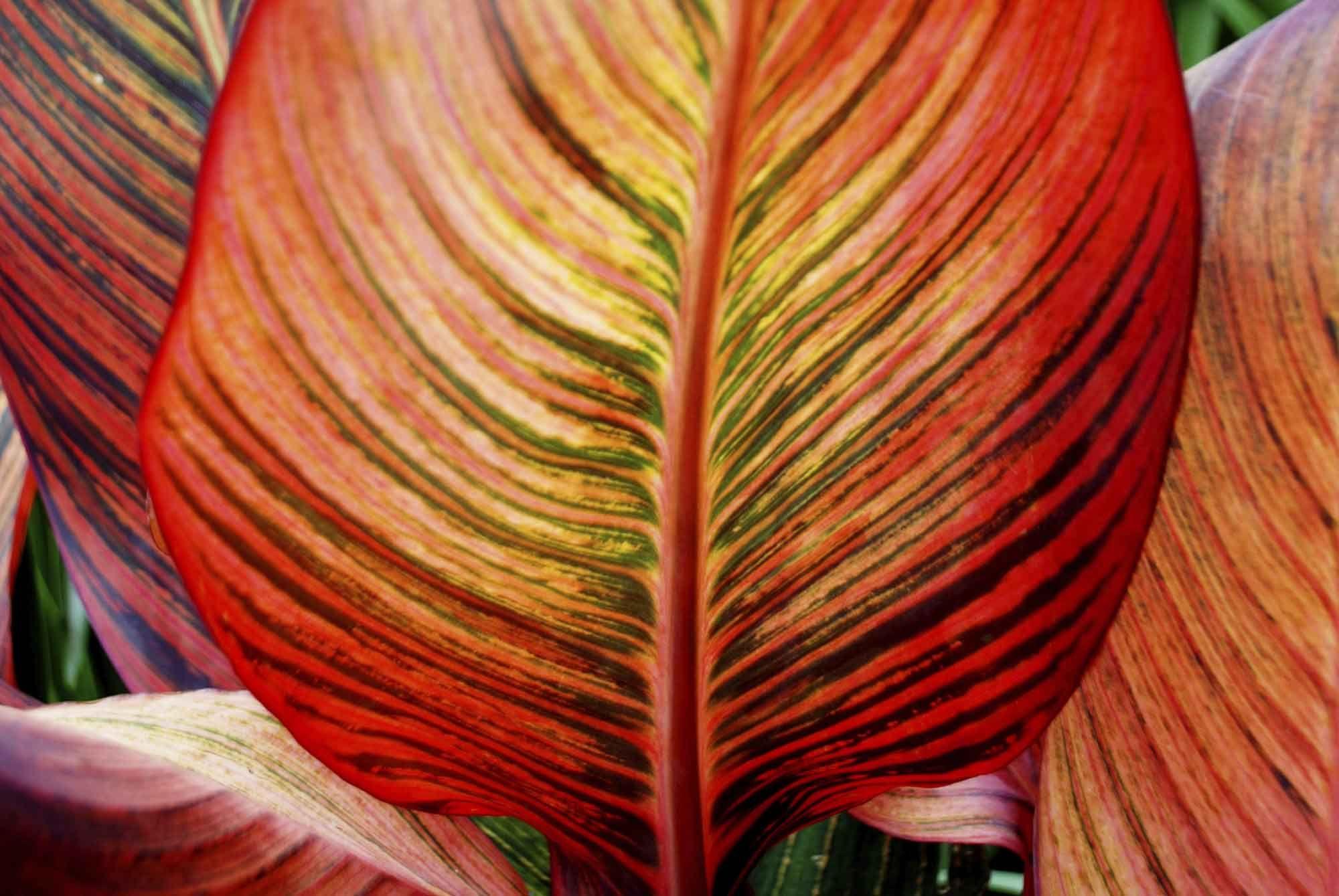 cannas hojas multicolor
