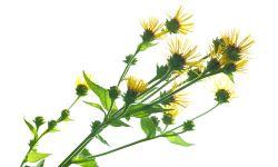 enula - planta resfriados y tos