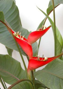 Heliconia bihai