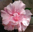 Flores comestibles: hibisco