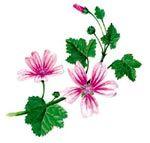 Flores comestibles: la malva