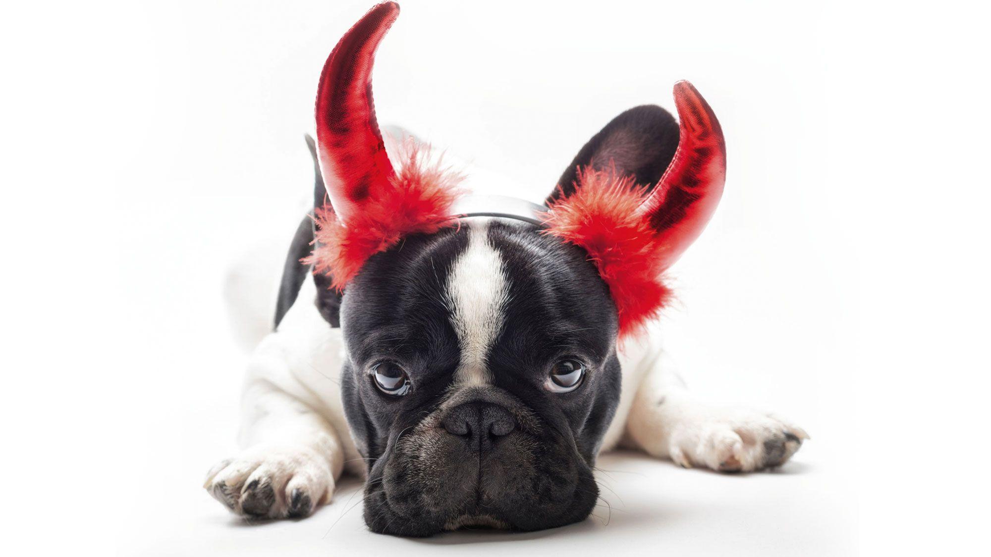 perro diablo