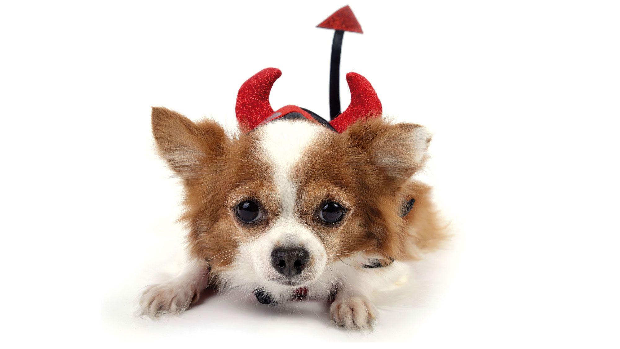 perros diablos