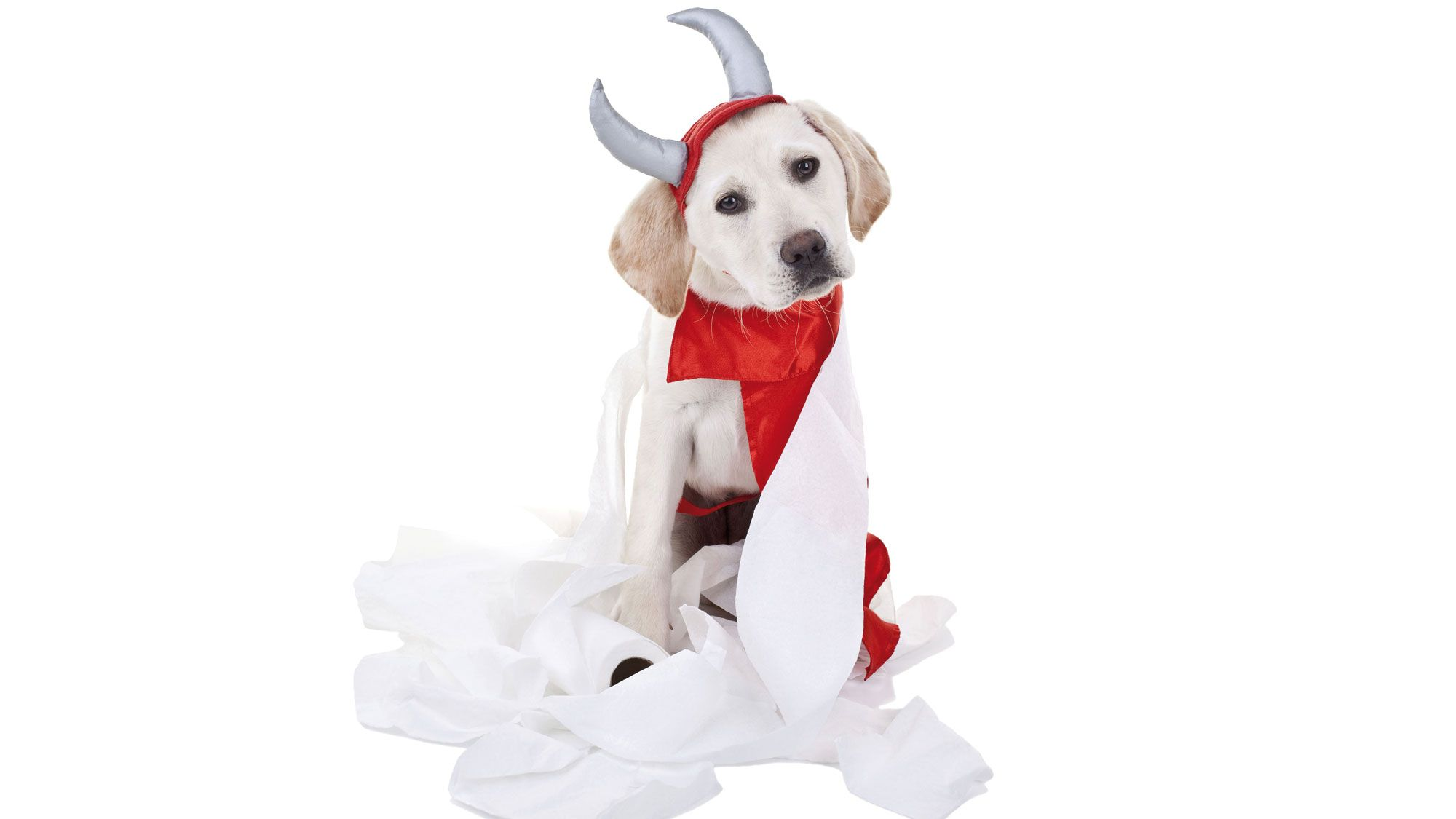 retriever perro diablo