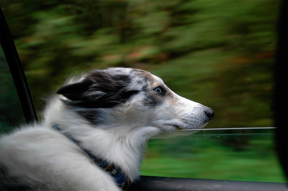 perros asomarse ventanilla coche
