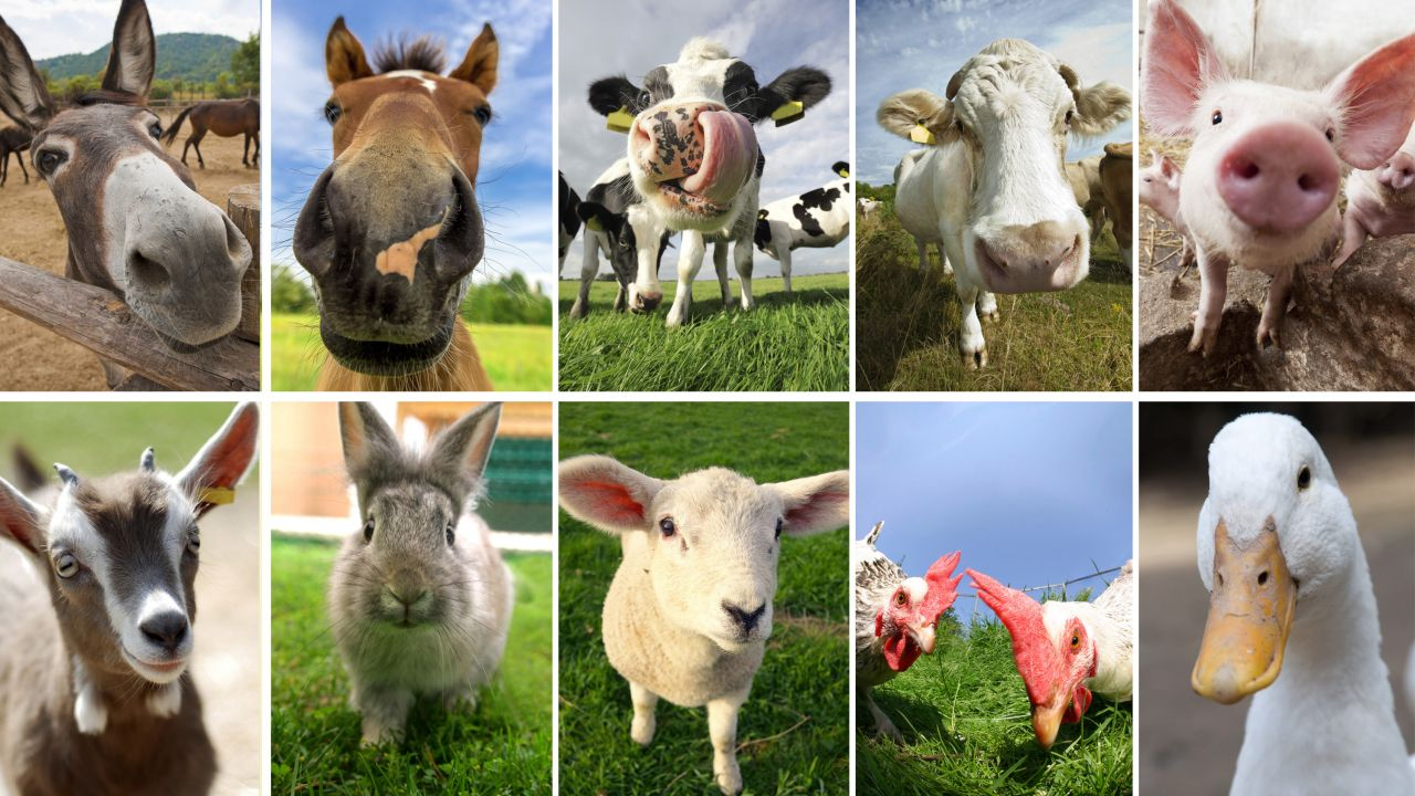 10 selfies de animales de granja - Hogarmania