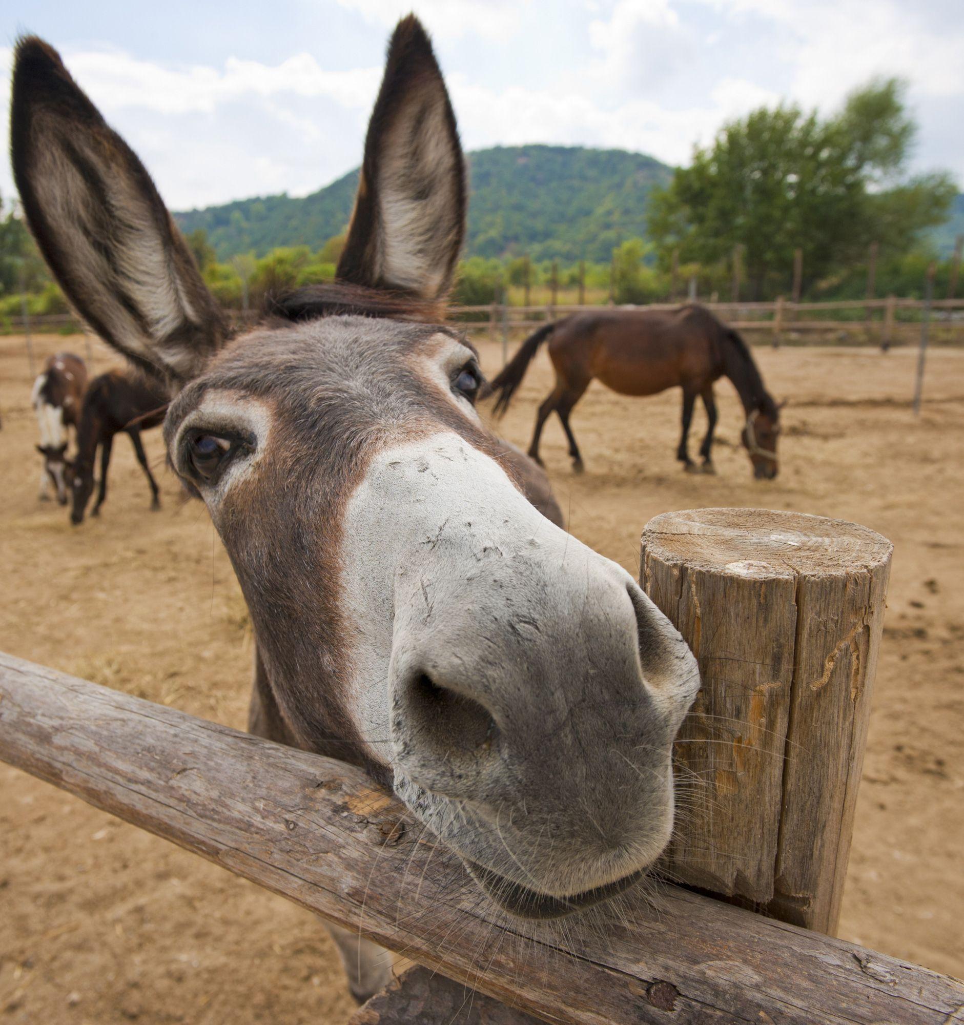 animales granja - burro
