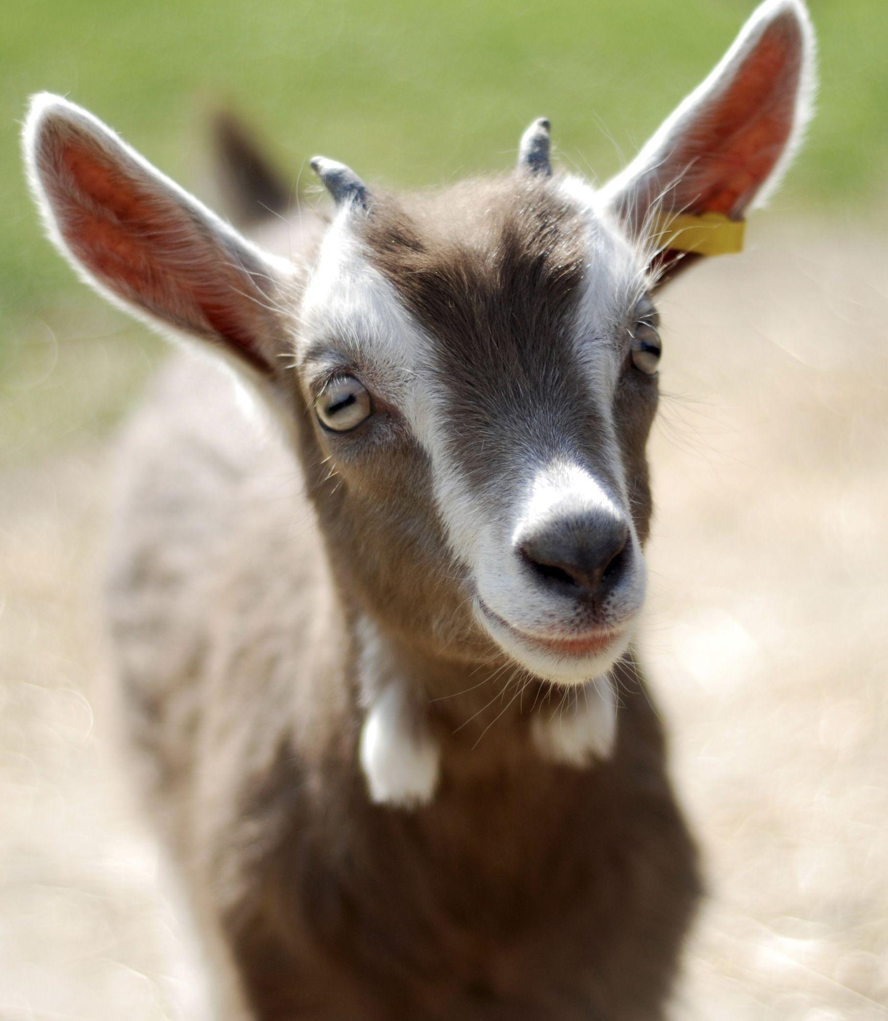 animales granja - cabra