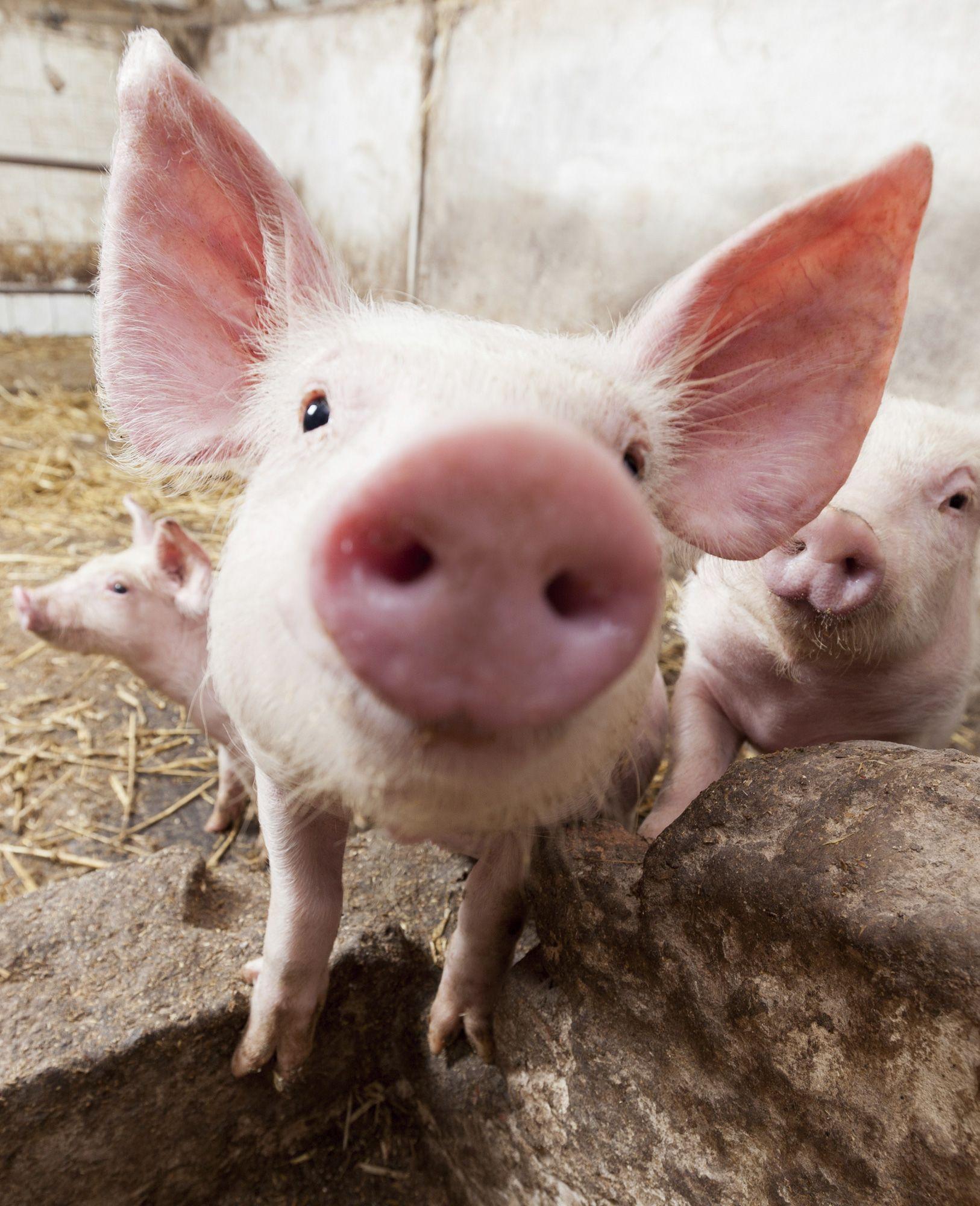 animales granja - cerdo