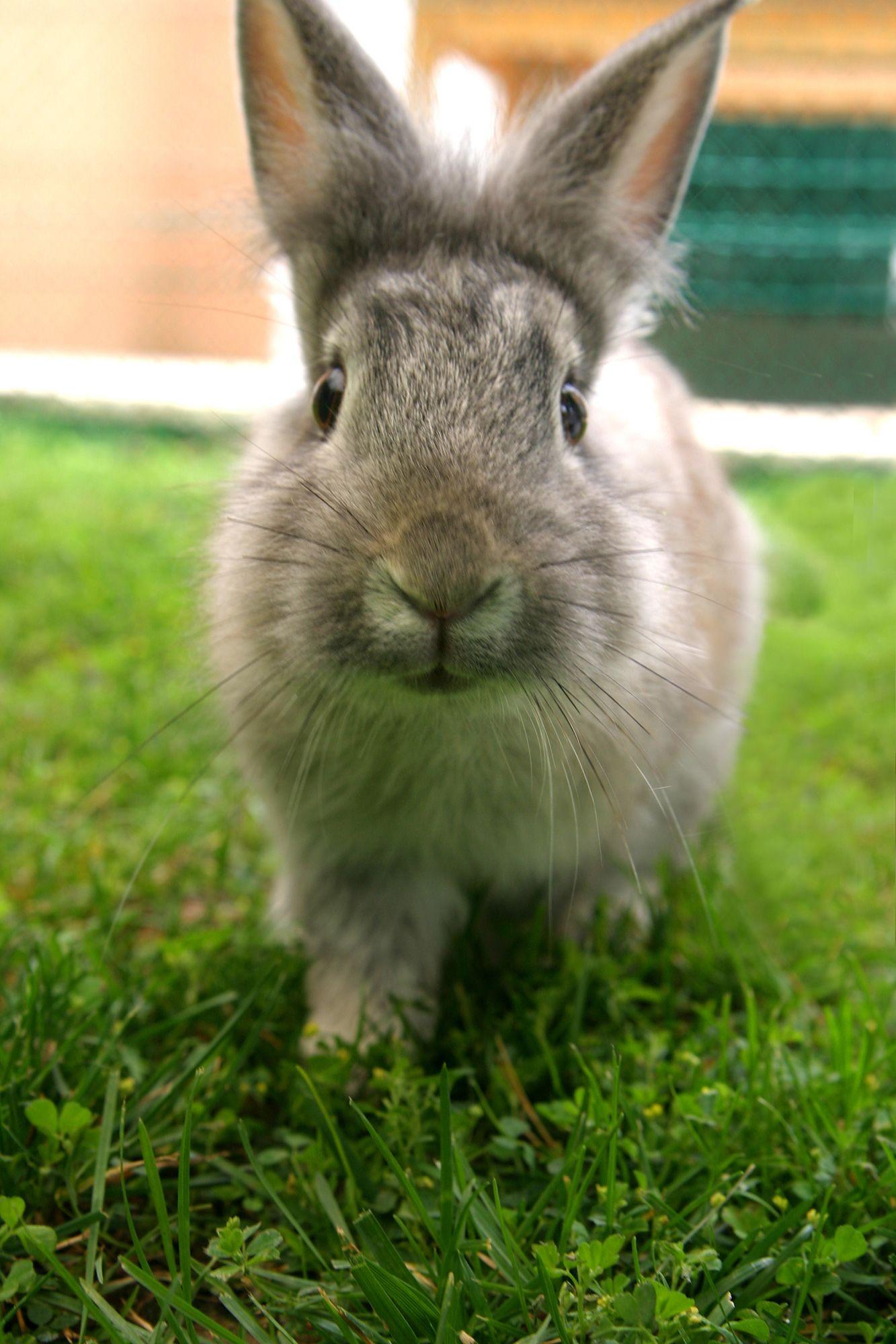 animales granja - conejo