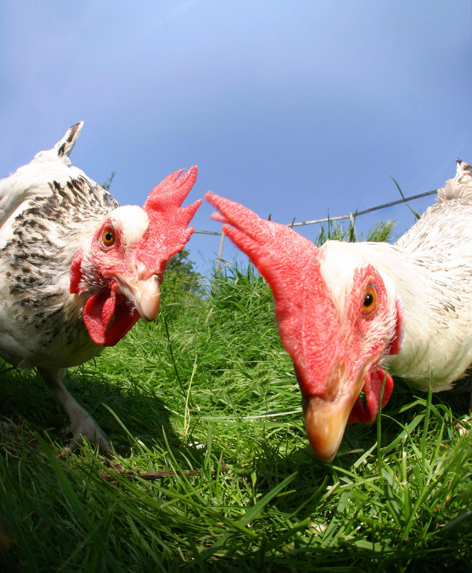 animales granja - gallinas