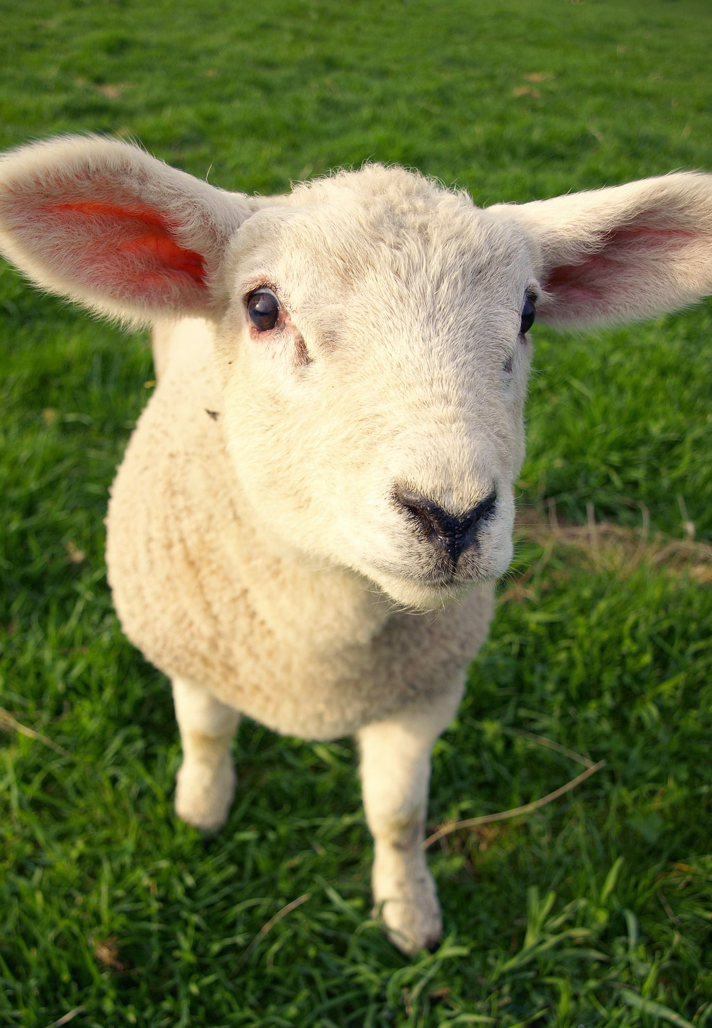 animales granja - oveja