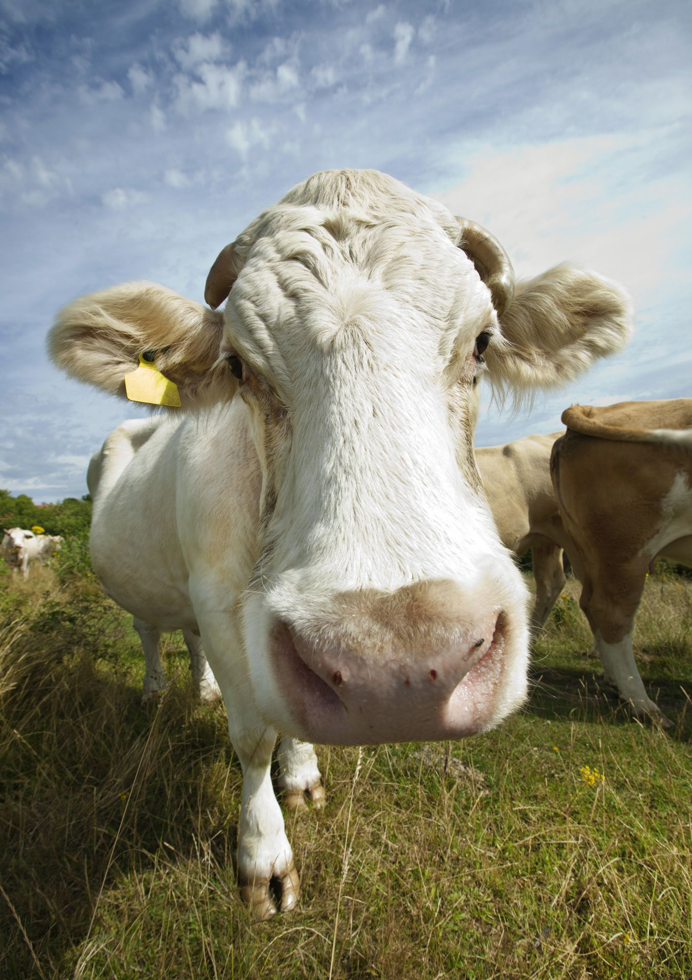 animales granja - vaca