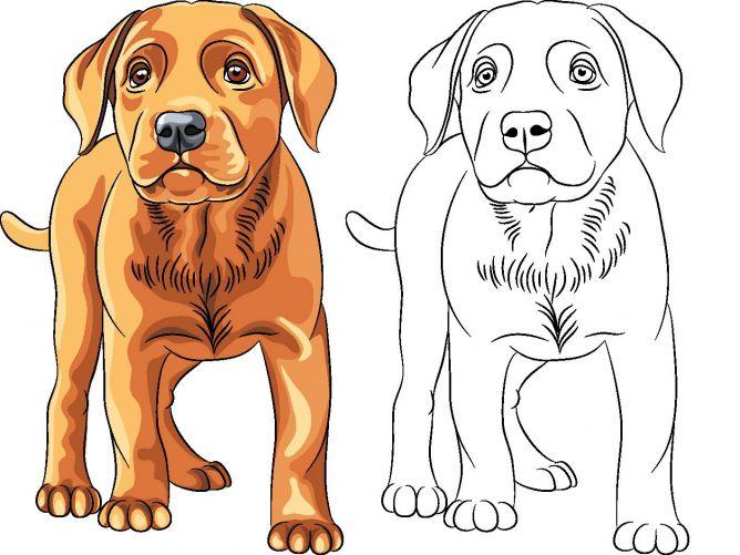 dibujos de perros para colorear - perro Labrador Retriever