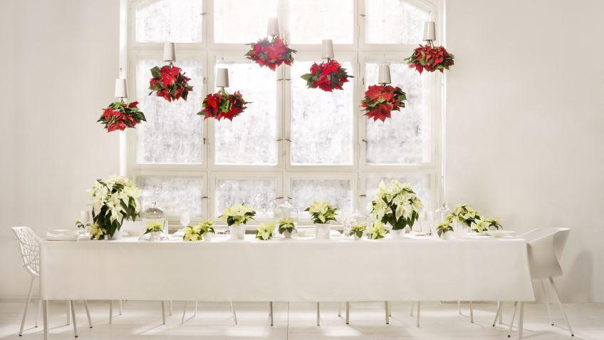 macetas colgantes con flor de pascua