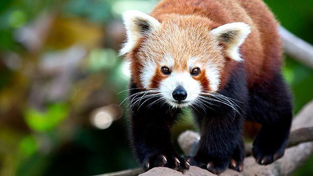 Panda rojo caminando sobre la rama