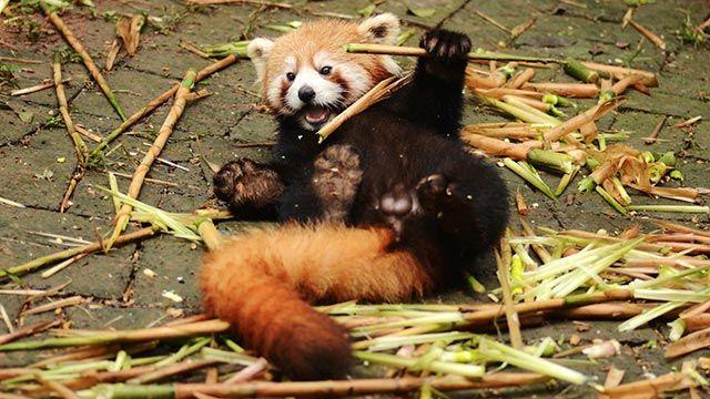 Panda rojo rodeado de bambú