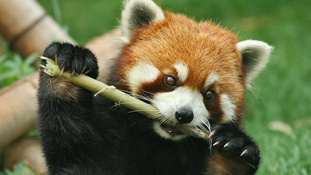 Panda rojo comiendo troncos de bambú
