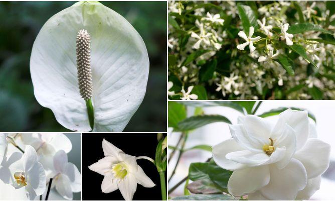 Plantas de interior con flores blancas decogarden for Plantas decorativas con sus nombres