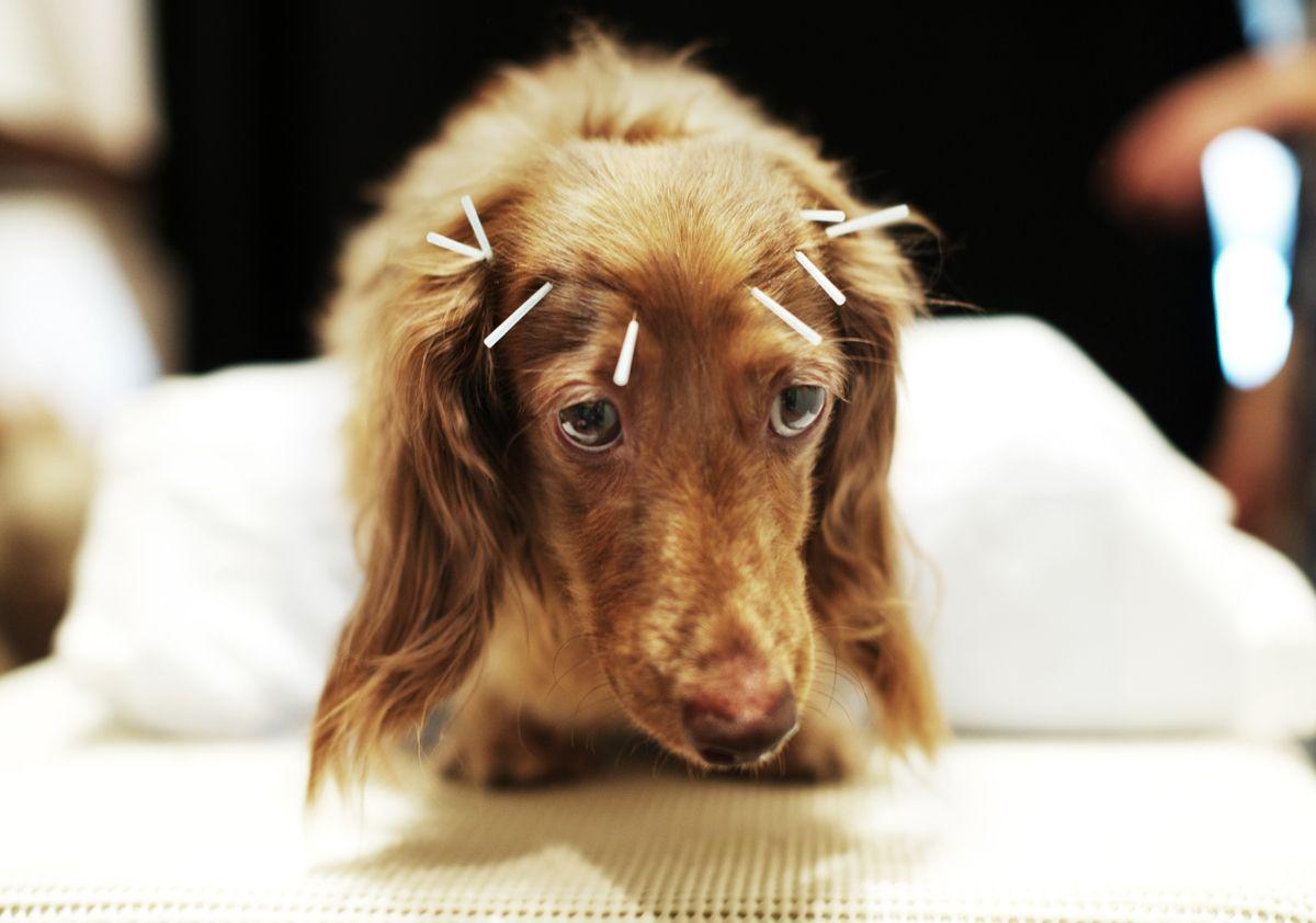 acupuntura perros