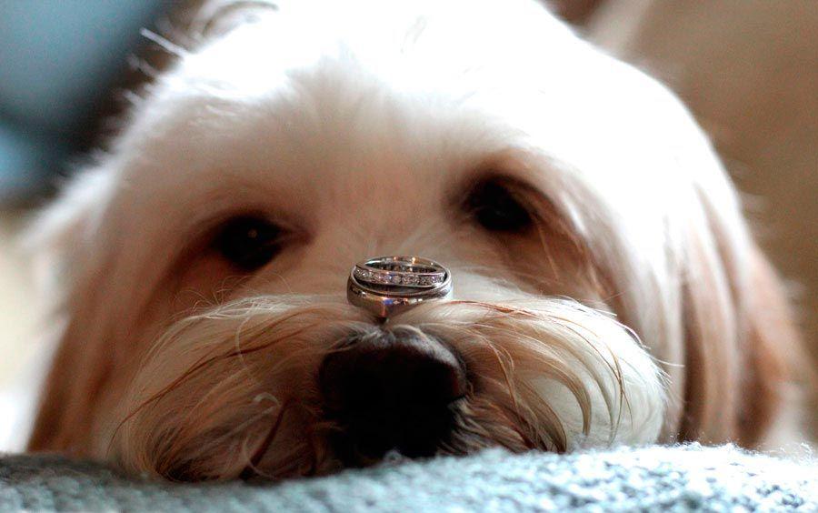 perros en bodas - portadores alianzas