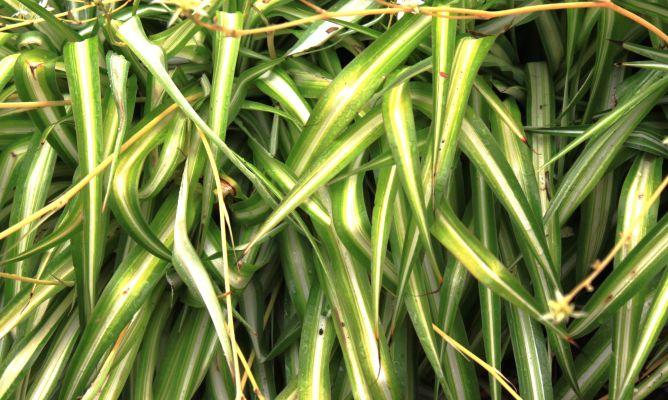 C mo reproducir la cinta decogarden - Cinta planta ...