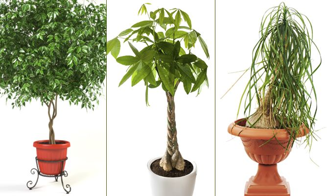 Plantas de interior con tallo decorativo decogarden for Plantas de interior altas