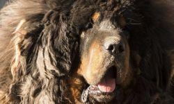 Dogo del Tíbet o mastín tibetano