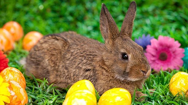 cu l es el origen del conejo de pascua hogarmania