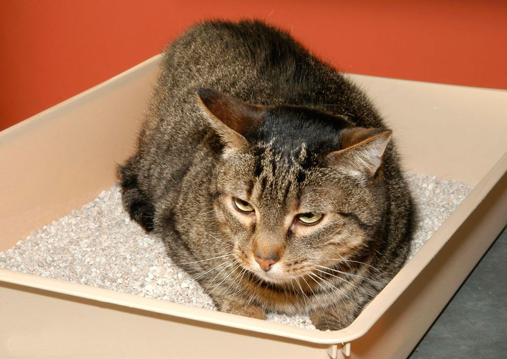 control parásitos gatos