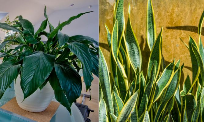 2 plantas de interior muy resistentes decogarden - Plantas de interior resistentes ...