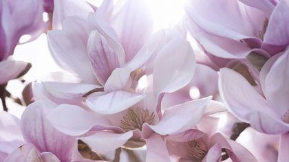 Magnolia soulangeana susan hogarmania - Abono para magnolios ...
