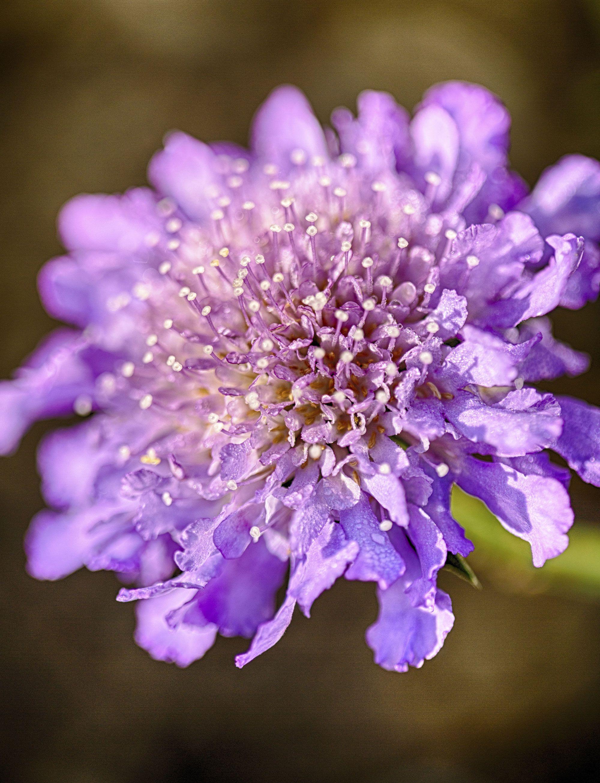 plantas alergias primavera - escabiosa