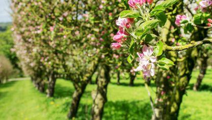 Podar rboles frutales bricoman a for Arboles frutales para jardin