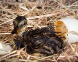 pollos nidífugos