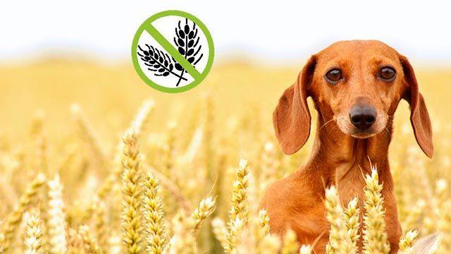 perros gluten intolerancia