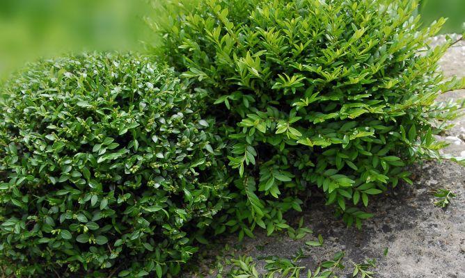 Pinzamiento de arbustos de hoja persistente bricoman a for Arbustos de hoja caduca