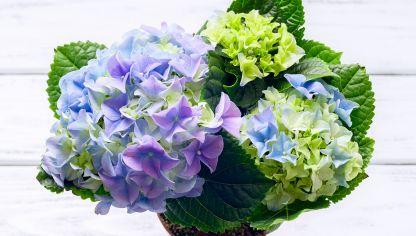 Por qu tus hortensias dan hojas pero no flores hogarmania - Variedades de hortensias ...
