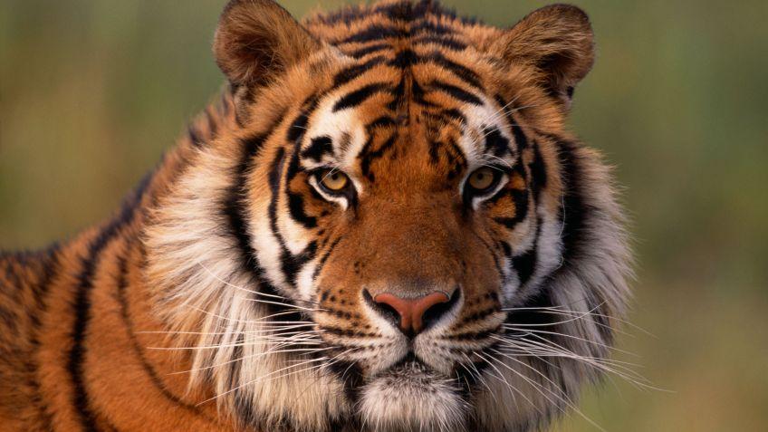 10 curiosidades sobre el tigre - Hogarmania
