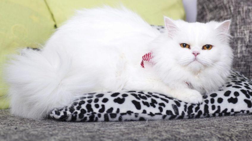 Gato persa - Fichas de gatos - Mascotas - Hogarmanía