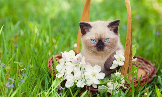 Siam s razas de gatos mascotas hogarman a for Ahuyentar gatos del jardin
