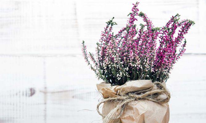Brezo calluna vulgaris cuidado planta jardiner a - Hogarmania jardineria ...