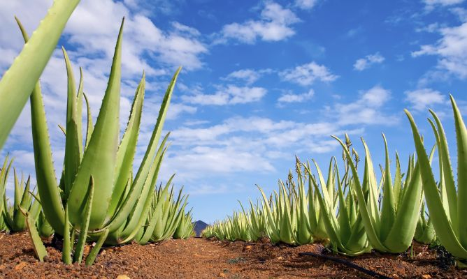 Aloe vera ficha de planta jardiner a hogarmania - Hogarmania jardineria ...