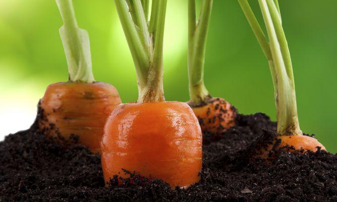 Como evitar la mosca de la zanahoria hogarmania for Como evitar los gatos en el jardin