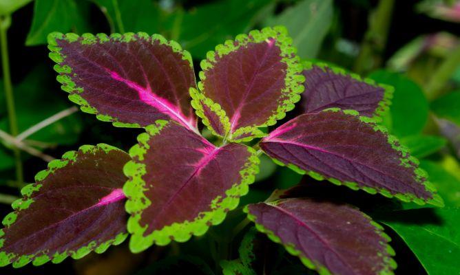 Tipos de coleos plantas jardiner a hogarmania - Tipos de plantas de exterior ...
