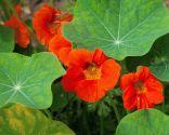 Tres flores comestibles